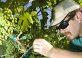 Grapes being pruned