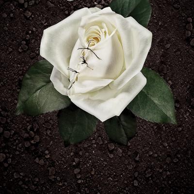 Sweden  Volontaire    Female Gential Mutilation:  White Rose, 2007   Copywriter: Malin Akersten Triumf   Art Director: Yasin Lekorchi   Photographers: Niklas Alm, Mattias Nilson, Vostro   Retouch Artist: Sofia Cederström, Vostro   Client: Amnesty International